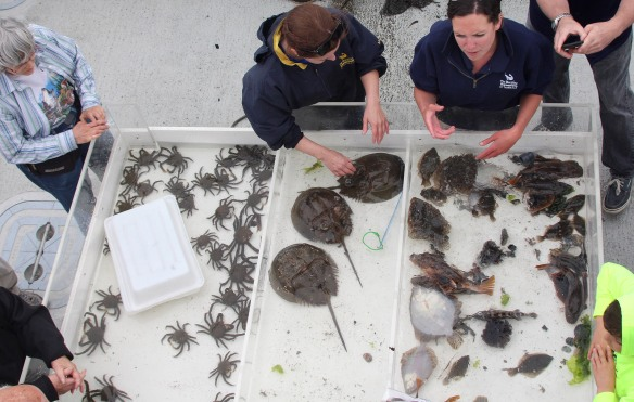 Hour photo/Chris Bosak Maritime Aquarium at Norwalk educators and visitors look at the haul from a net brought in from Long Island Sound during a cruise aboard the Aquarium's new research vessel RV Spirit of the Sound on Saturday afternoon.
