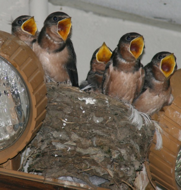 Photo by Chris Bosak Young Barn Swallows beg for food as a parent returns to the nest with a morsel in this June 2012 file photo.