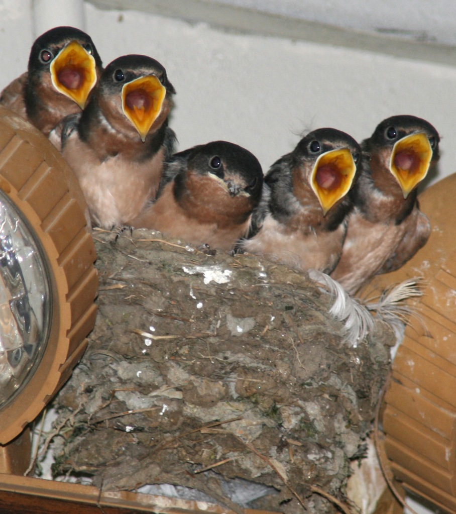 Photo by CHRIS BOSAK Young Barn Swallows look for food from their mother, which is returning to the nest with food.