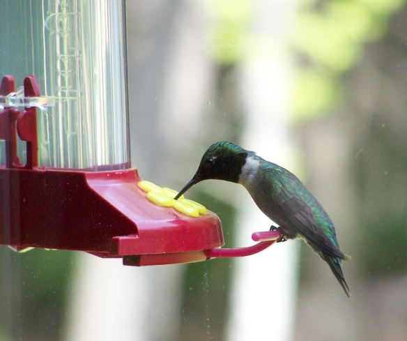 Dick & Louise Richards of Swanzey, N.H., got this photo of a Ruby-throated Hummingbird at their feeder in spring 2015.