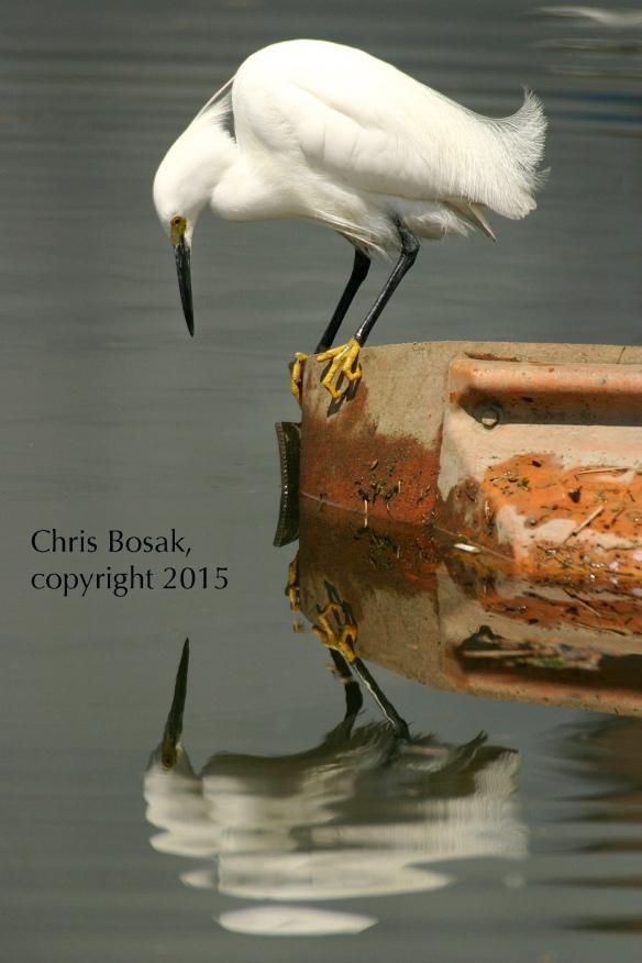 Photo by Chris Bosak A Snowy Egret looks for food in Norwalk Harbor.
