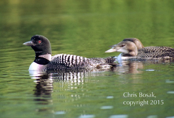 Photo by Chris Bosak A Common Loon swims on a lake in northern New Hampshire with two young loons.