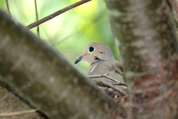 Photo by Chris Bosak A Mourning Dove sits on a nest in early July at Sellecks/Dunlap Woods in Darien.