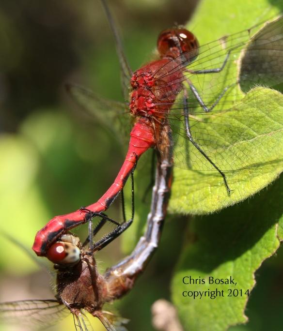 Photo by Chris Bosak Meadowhawk dragonflies mate in Selleck's/Dunlap Woods in Darien in summer 2014.