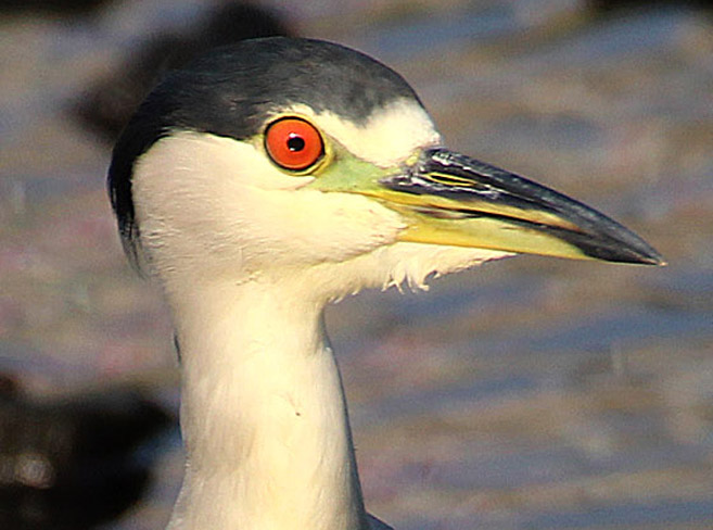 Photo by Chris Bosak A Black-crowned Night Heron looks for food in Holly Pond in Stamford in summer 2015.