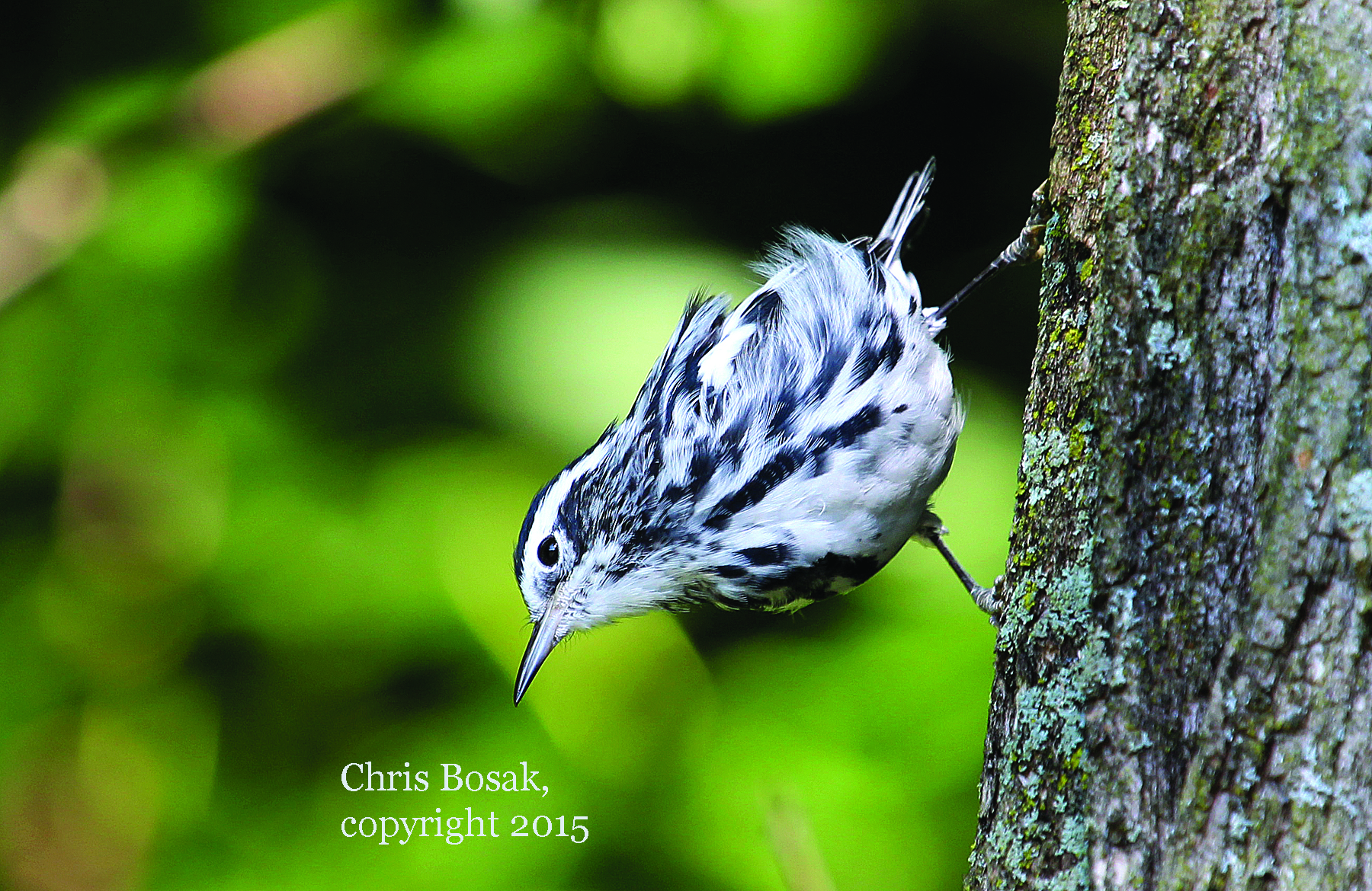Photo by Chris Bosak A Black-and-white Warbler clings to a tree in Hoosick Falls, N.Y., in summer 2015.