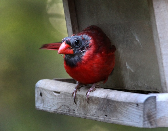 Photo by Chris Bosak A Northern Cardinal with a bald head perches on a feeder in Danbury, CT, summer 2015.