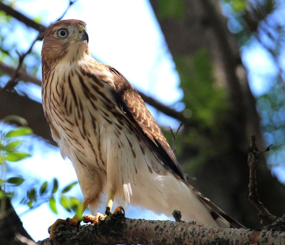 Photo by Chris Bosak An immature Cooper's Hawk rests in a tree after eating a songbird in Norwalk, CT, summer 2015.