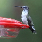 Photo by Chris Bosak A Ruby-throated Hummingbird perches on a feeder in Danbury, CT, summer 2015.