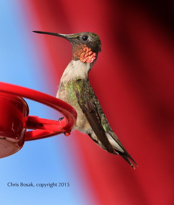 Photo by Chris Bosak A Ruby-throated Hummingbird perches on a feeder at the Errol (N.H.) Motel in the summer of 2015.
