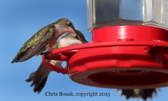 Photo by Chris Bosak Female Ruby-throated Hummingbirds perch on a feeder at the Errol (N.H.) Motel in the summer of 2015.