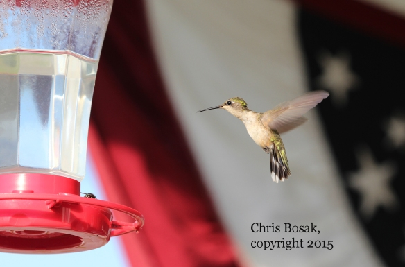 Photo by Chris Bosak A Ruby-throated Hummingbird hovers near a feeder at the Errol (N.H.) Motel in the summer of 2015.