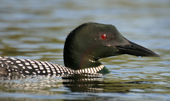Photo by Chris Bosak Common Loon