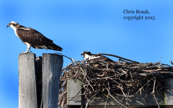 Photo by Chris Bosak An adult Osprey sits on a piling (left) as a first-year Osprey sits in a nest off the coast of Norwalk, Conn., summer 2015.