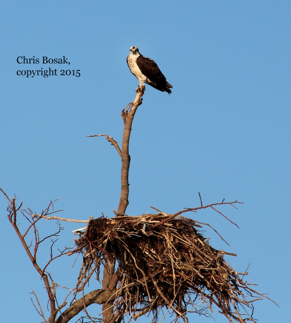 Photo by Chris Bosak An Osprey sits near its nest on Fish's Island off the coast of Darien, Conn.,  in summer 2015.