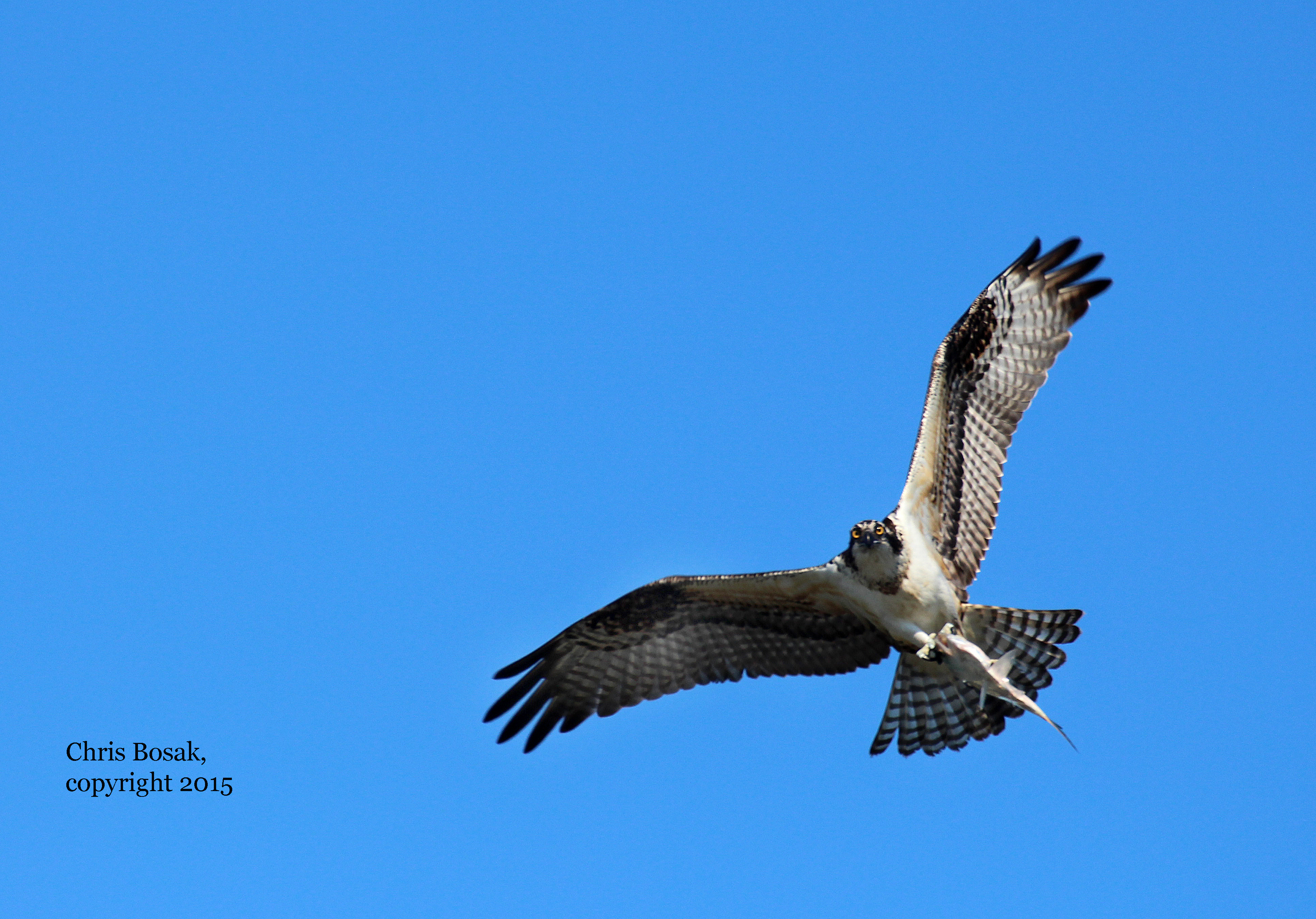 Photo by Chris Bosak An Osprey flies with a fish in its talons over the Norwalk River in Norwalk, Conn., summer 2015.