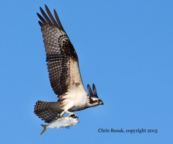 Photo by Chris Bosak An Osprey carries a fish along the Norwalk River in Norwalk, CT, summer 2015.