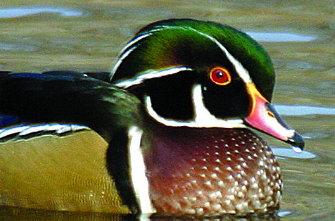 Photo by Chris Bosak Male wood duck.
