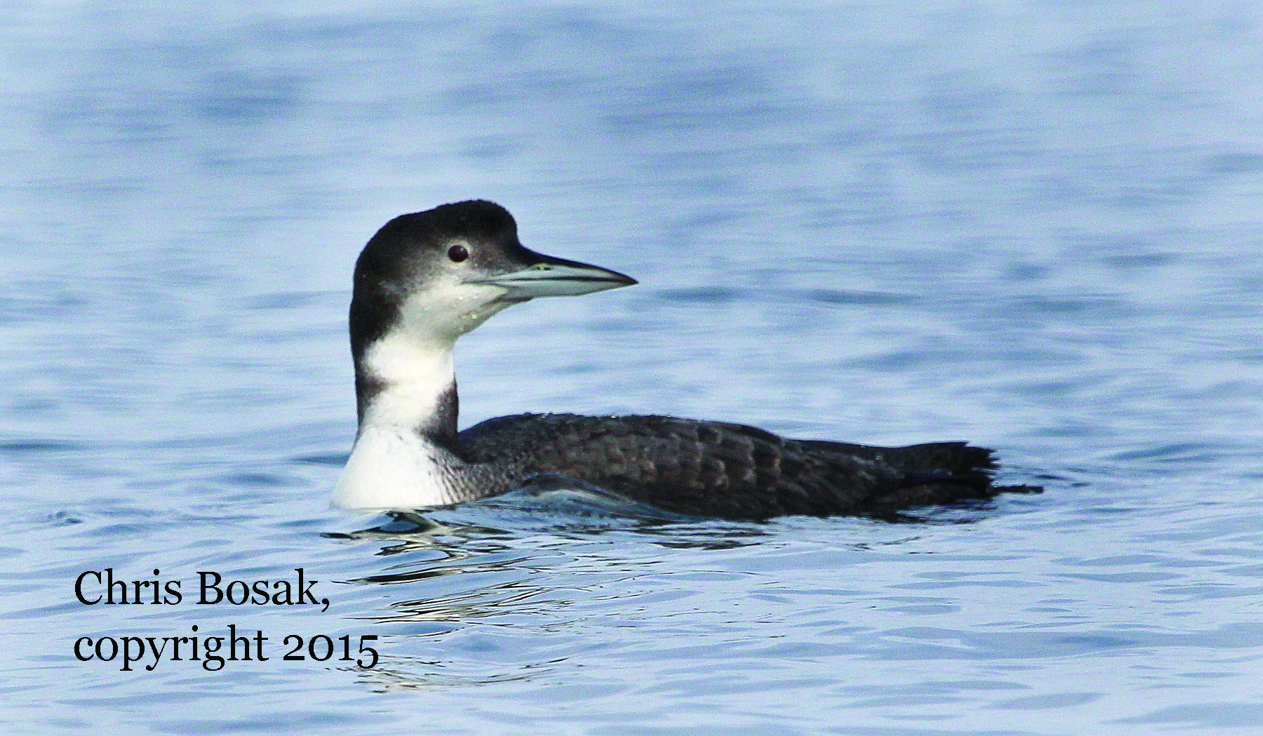 Photo by Chris Bosak A Common Loon seen during a recent winter in Long Island Sound off the coast of Norwalk, Conn. Loons feature a more drab plumage in the winter.