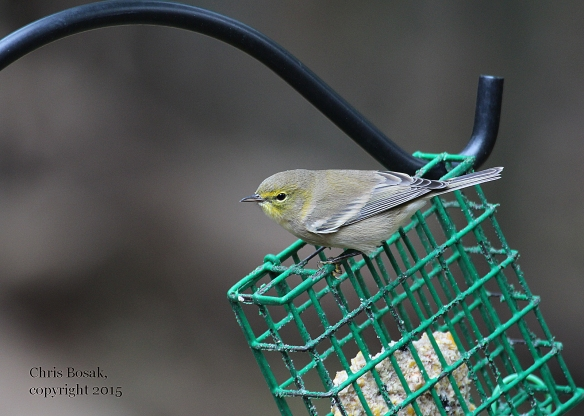 Photo by Chris Bosak Pine Warbler at feeder in Danbury, Conn., fall 2015.