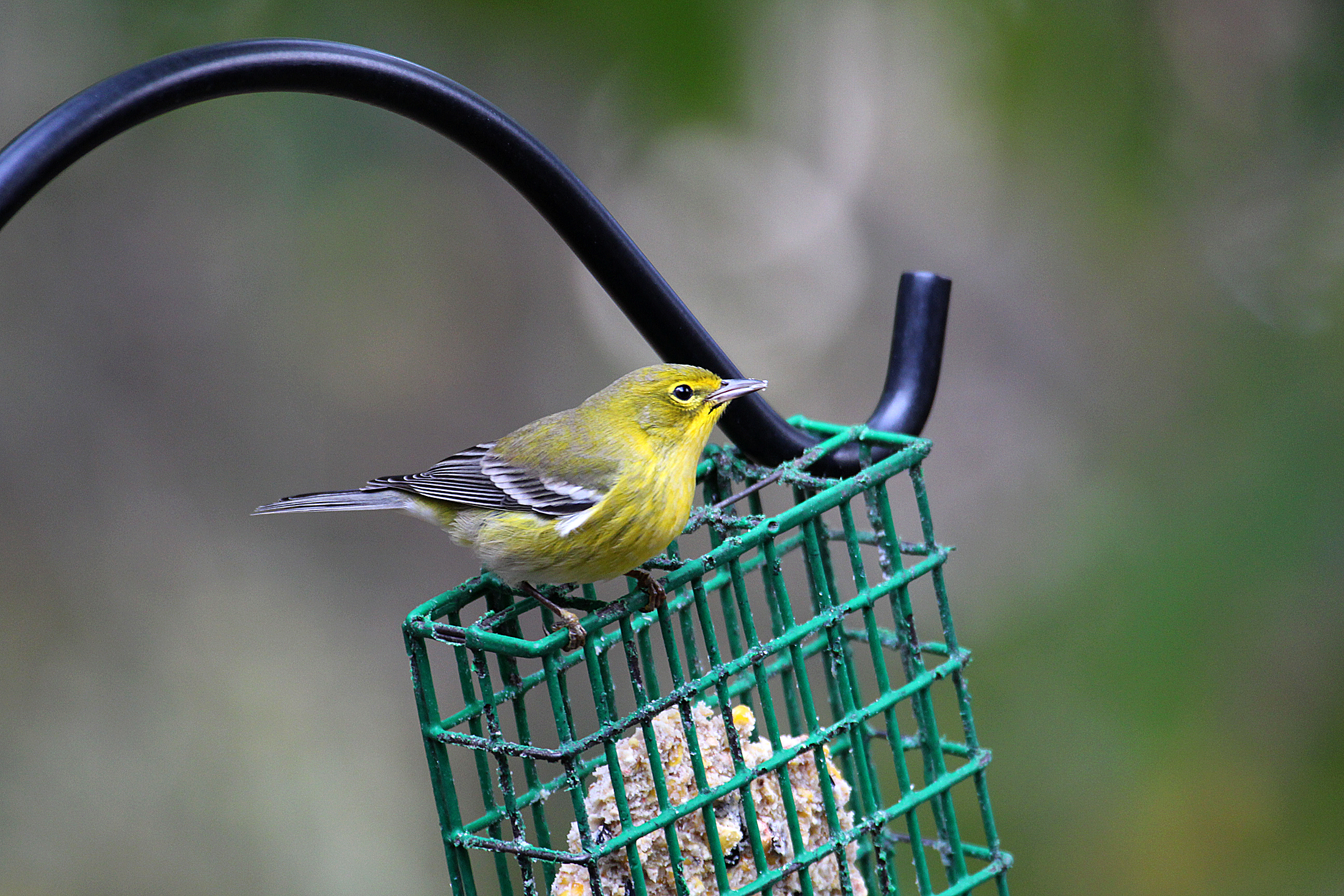 Photo by Chris Bosak A Pine Warbler visits a feeder in New England, fall 2015.