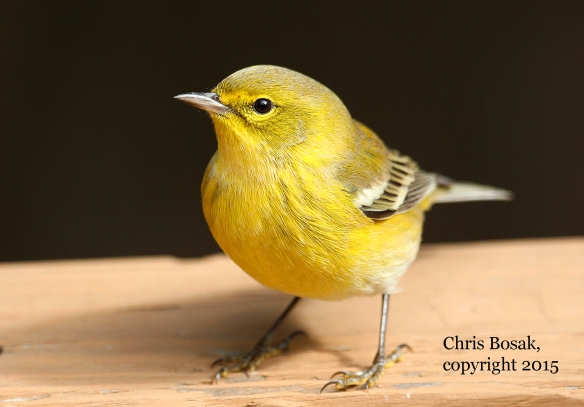 Photo by Chris Bosak A Pine Warbler sits on a deck railing in New England this fall.