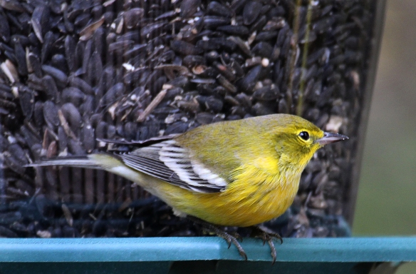 Photo by Chris Bosak A Pine Warbler visits a feeder in New England in fall 2015.