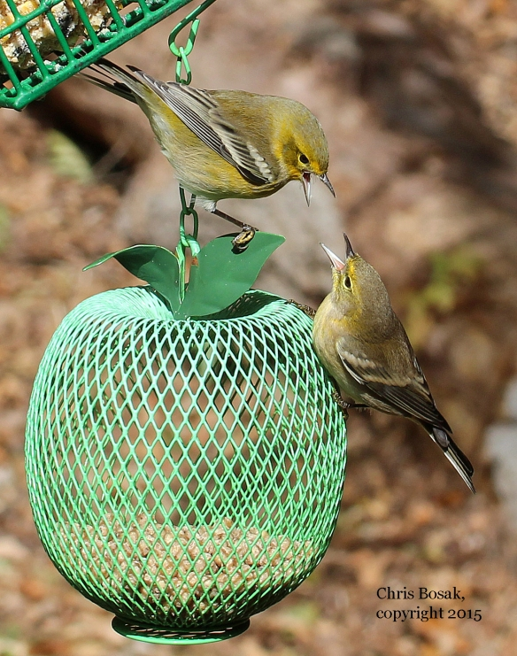Photo by Chris Bosak Pine Warblers squabble over a birdfeeder in Danbury, Conn., during fall 2015.