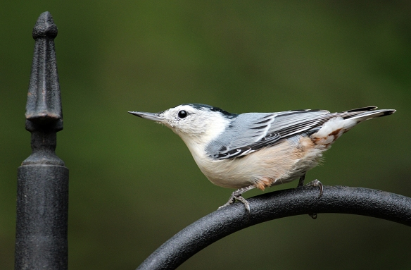 Photo by Chris Bosak White-breasted Nuthatches are a common feeder bird in New England.