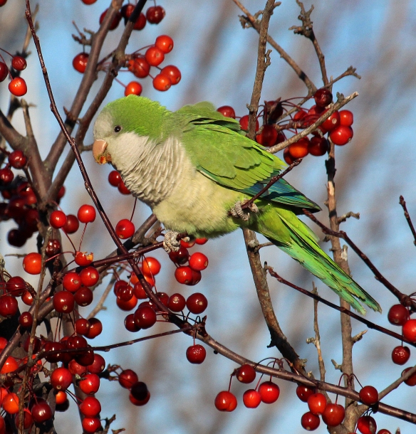 Hour photo/Chris Bosak A Monk Parakeet seen eating crab apples at Calf Pasture Beach in Norwalk on Sundayt during the annual Christmas Bird Count.