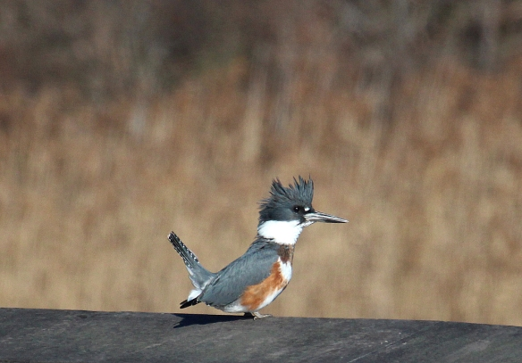 Photo by Chris Bosak A Belted Kingfisher seen near the Maritime Aquarium at Norwalk on Sunday during the annual Christmas Bird Count.
