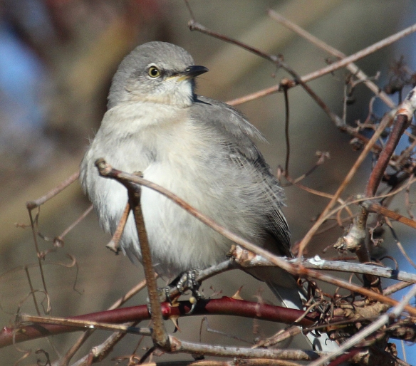 Photo by Chris Bosak A Northern Mockingbird seen Sunday at Taylor Farm in Norwalk during the annual Christmas Bird Count.