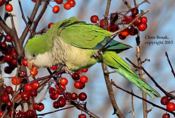 Photo by Chris Bosak A Monk Parakeet seen eating crab apples at Calf Pasture Beach in Norwalk on Sunday during the annual Christmas Bird Count.