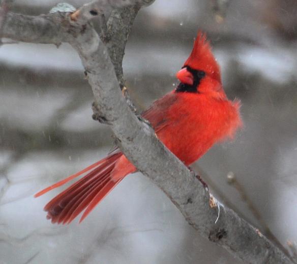 Photo by Chris Bosak A Northern Cardinal perches near a feeder during a snowstorm in Danbury, Conn., Jan. 23, 2016.
