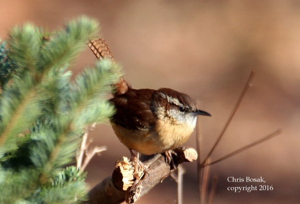 Photo by Chris Bosak A Carolina Wren perches near an evergreen at Merganser Lake in Connecticut, January 2016.