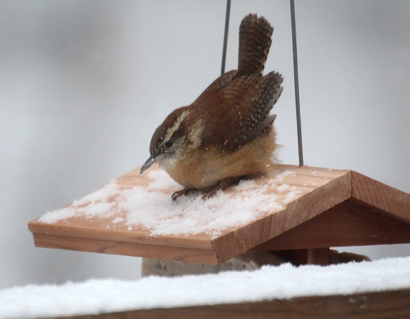 carolina wren snow