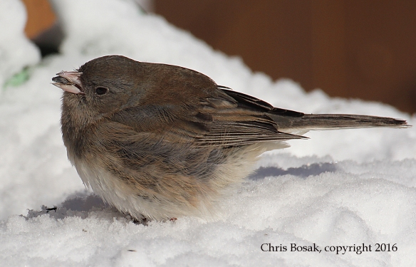Photo by Chris Bosak A Dark-eyed Junco eats sunflowers seeds the day after a snowstorm in Danbury, Conn., Jan. 2016.