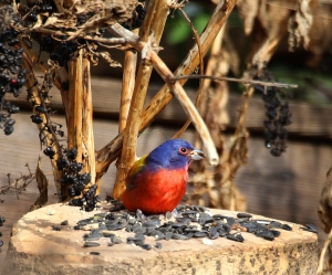 Photo by Chris Bosak A Painted Bunting visits a yard in Stamford, Conn., on Jan. 22, 2016.