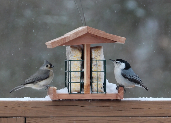 Photo by Chris Bosak A Tufted Titmouse and White-breasted Nuthatch share a feeder during a snowstorm in Danbury, Conn., Jan. 23, 2016.