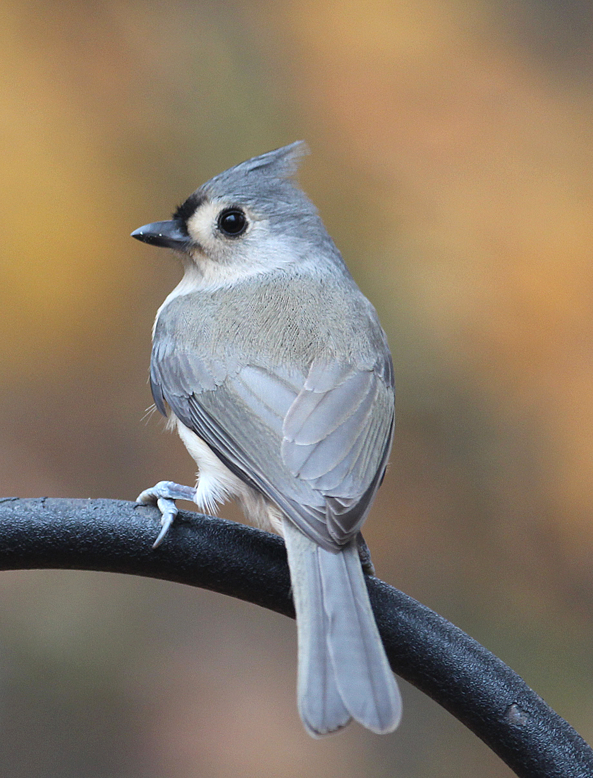 Photo by Chris Bosak A Tufted Timouse perches near a feeding station in New England, fall 2015.