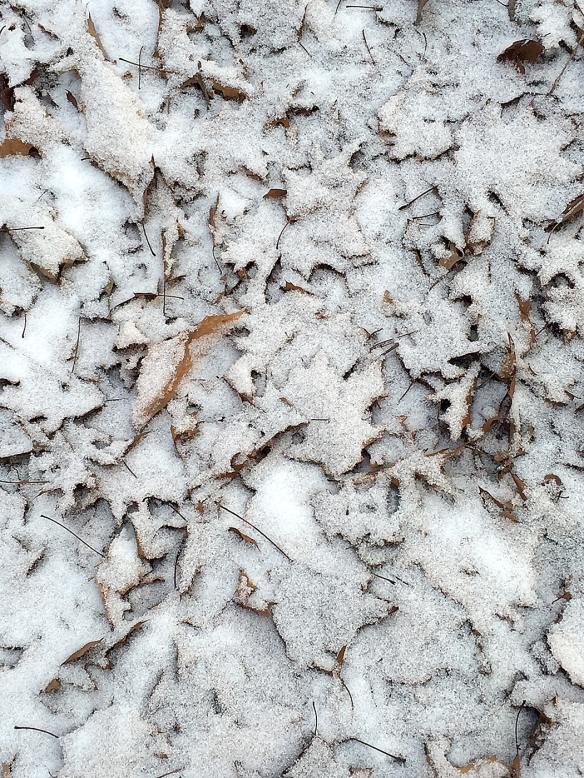 Photo by Chris Bosak Oak leaves covered in a light coating of snow on Thursday, Jan. 14, 2016, in Danbury, Conn.