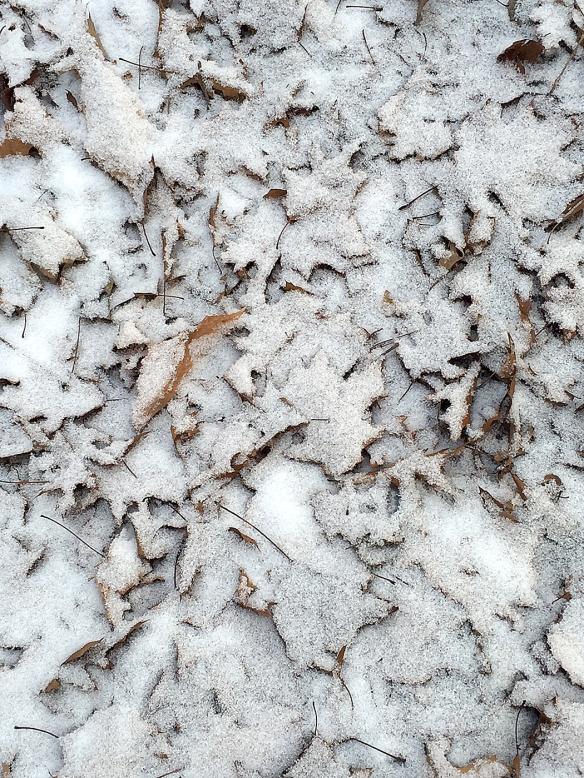 Photo by Chris Bosak Oak leaves covered in a light coating of snow on Thursday, Jan. 14, 2016, in Danbury, Conn.