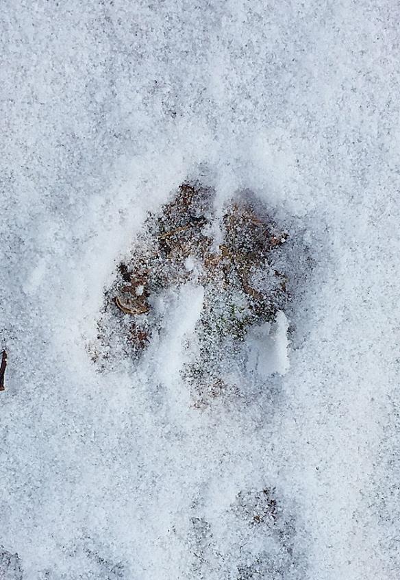 Photo by Chris Bosak Deer tracks on the trail near Little Merganser Lake, Danbury, Conn., winter 2016.