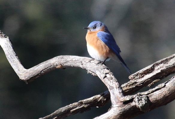 Photo by Chris Bosak An Eastern Bluebird perches near a lake in Danbury, Conn., Feb. 2016.