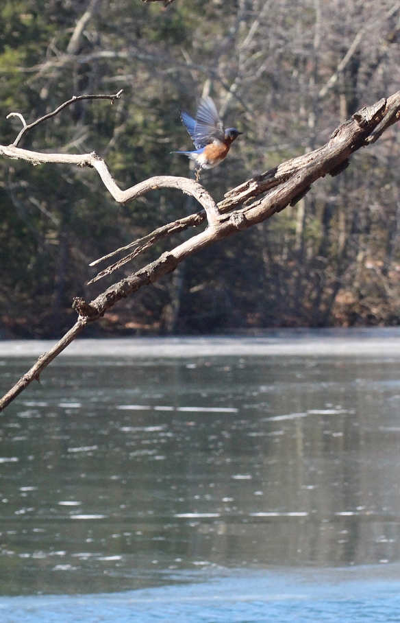 Photo by Chris Bosak An Eastern Bluebird takes off from a perch near a mostly frozen lake in Danbury, Conn., Feb. 2016.