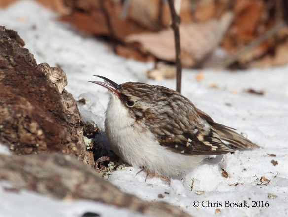 Photo by Chris Bosak A Brown Creeper finds food at the base of a tree during a cold snap in February 2016, Danbury, Connecticut.