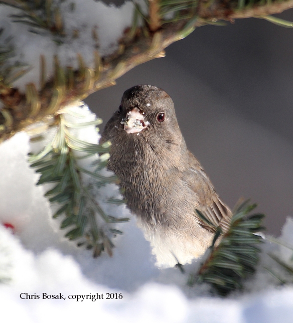 Photo by Chris Bosak A Dark-eyed Junco looks for seeds the day following a snow storm in New England, Jan. 2016.