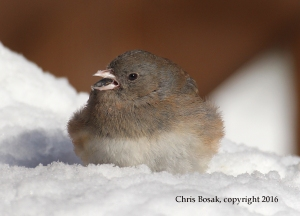 Photo by Chris Bosak A Dark-eyed Junco eats a sunflower seedsthe day following a snow storm in New England, Jan. 2016.