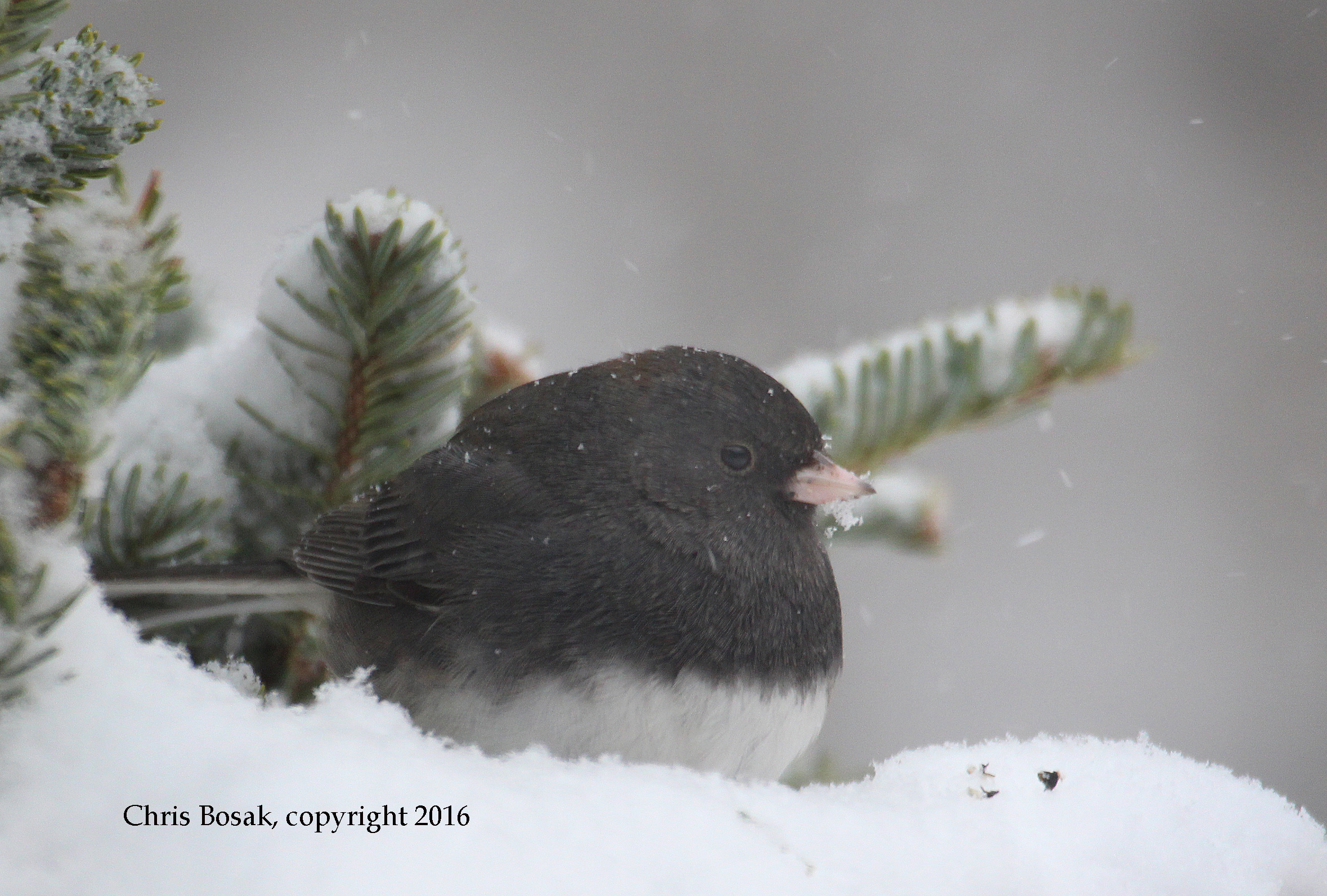 Photo by Chris Bosak A Dark-eyed Junco looks for seeds during a snow storm in New England, Jan. 2016.