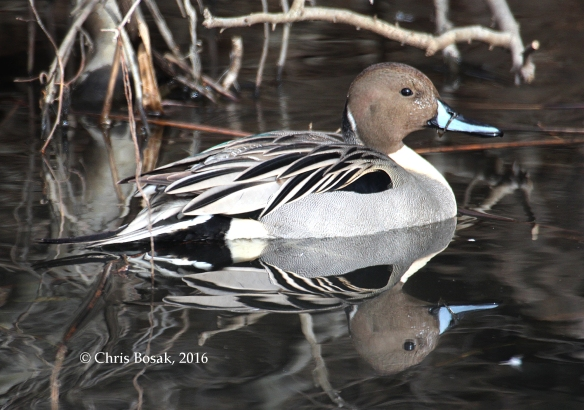 Photo by Chris Bosak A Northern Pintail drake in a pond in Danbury, Conn., Jan. 2016.